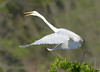 great egrets takes flight