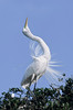 great egret displaying during the breeding season