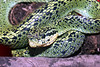 EE<br /> Bothriechis nigroviridis<br /> Black and Green Palm Viper