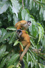 GC Red Backed Squirrel Monkey Osa Peninsula