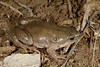 BB Gastrophryne olivacea Great Plains Narrowmouth Toad Russell County 2013