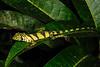 DA<br /> Anolis transversalis<br /> Banded Tree Anole<br /> Female<br /> Speciman #2<br /> Santa Cruz<br /> 2013