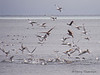 Gulls attracted to herring spawn