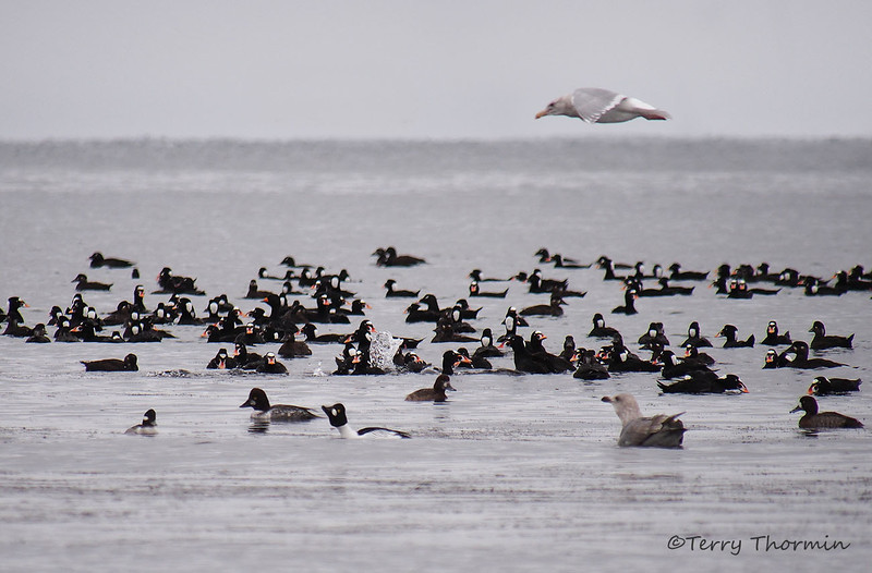 Waterfowl  attracted to herring spawn