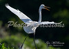 egret take off_8608