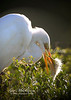 egret and chick_7992
