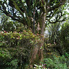 Totara and Horopito (pepper tree) forest