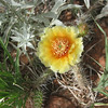 _6151 21June2014 Aikens Canyon hike, yellow cactus flower with red throat