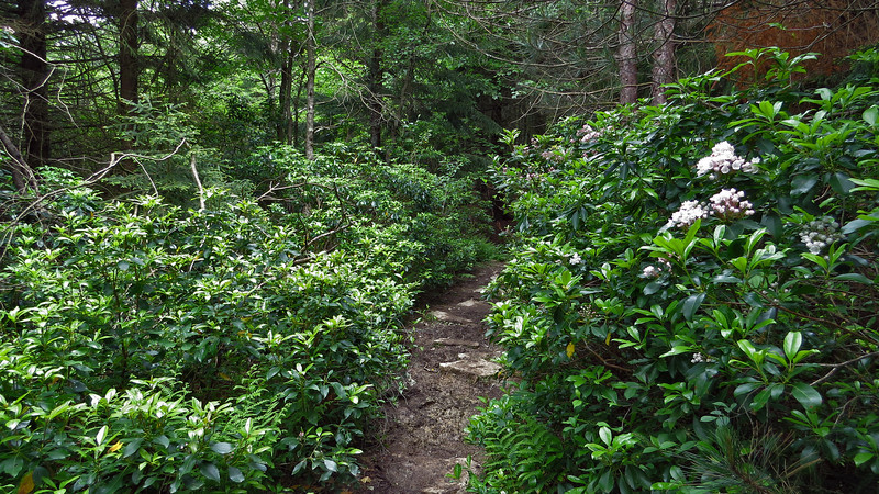 Mountain Laurel tunnel-Blackbird Knob Trail