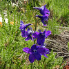 "Larkspur is a member of the delphinium family. Derived from the word of Greek ""delphis"", meaning dolphin."