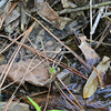 Lithobates palustris - Pickerel Frog