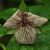 Trillium erectum - Red Trillium blended morph