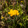 Bird's-foot Trefoil (Lotus corniculatus)