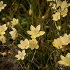 (California) Creamcups (Platystemon californicus)