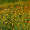 (some kind of ) Fiddleneck - (various) douglasiana