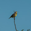 Western Meadowlark (Stumella neglecta)