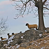 February 2, 2013. These sheep live on the Antietam Battlefield. Every time they see me they charge down the hill and come right up to the fence to look at me. I'm not sure what they expect but it's kind of funny!