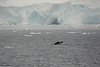 Antarctic Cruise - Day 4 - Humpback Whales Near Neko Harbour 04