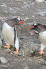 Antarctic Cruise - Day 3 - Barrientos Island - Pair of Gentoos Having a Debate