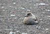 Antarctic Cruise - Day 7 - Deception Island - Whaler's Bay Landing - Krill-filled Birds 2