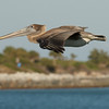 Pelican fly-by