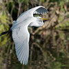 Great Egret Soaring
