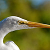 Great Egret up close