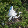 Humping Great Egrets