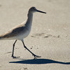 Shadow of Willet