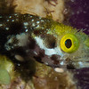 This little blenny was darting in and out of his hole