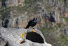 Capetown - Table Mountain - Raven