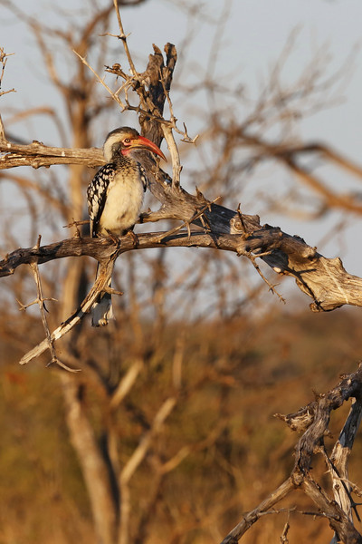 Chobe - Morning Game Drive - Red-billed Hornbill