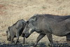 Game Near Chobe - Warthog