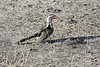 Chobe - Morning Game Drive - Another Red-billed Hornbill