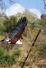Chobe - Sunset Game Cruise - Fish Eagle on the Fly