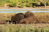 Chobe - Sunset Game Cruise - Elephants Rolling in River Mud