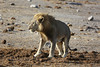 Etosha - Game Drive 3 - Male Lion at Water Hole (1)