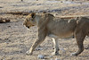 Etosha - Game Drive 3 - Female Lion at Water Hole 2