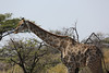 Etosha - Game Drive 2 - Yet More Giraffe (2)
