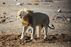 Etosha - Game Drive 3 - Male Lion at Water Hole (2)
