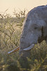 Etosha - Game Drive In - Elephant