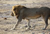 Etosha - Game Drive 3 - Male Lion at Water Hole (3)