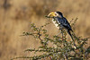 Etosha - Game Drive 2 - Yellow-billed Hornbill 2