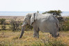 Etosha - Game Drive 2 - Another Elephant (2)