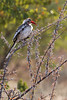 Etosha - Game Drive 2 - Red Billed Hornbill