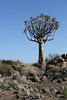 Driving Through Southern Namibia - Quiver Tree