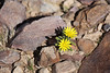Fish River Canyon - Yellow Flower Closeup
