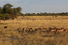 Kavango River - Nunda Lodge Game Drive - Impala Herd in the Grass