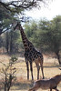 Kavango River - Nunda Lodge Game Drive - Giraffe