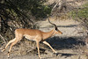 Kavango River - Nunda Lodge Game Drive - Jogging Impala